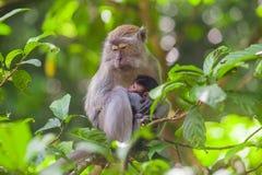Cangrejo-consumición de fascicularis del Macaca del macaque en el parque nacional de Gunung Leuser, Sumatra, Indonesia Fotos de archivo