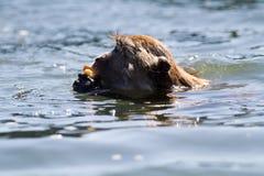 Cangrejo-consumición de la natación del Macaque imágenes de archivo libres de regalías