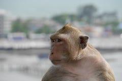 Cangrejo-consumición del Macaque Foto de archivo
