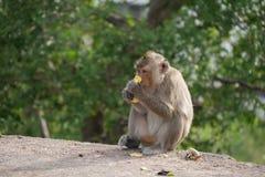 Cangrejo-consumición del Macaque Foto de archivo libre de regalías