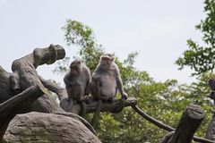 Cangrejo-consumición del Macaque, fascicularis del Macaca Fotografía de archivo