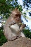 Cangrejo-consumición del macaque o de fascicularis de cola larga del macaque o del macaca Foto de archivo libre de regalías