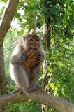 Cangrejo-consumición del macaque que come el coco Fotografía de archivo libre de regalías