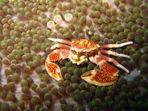 Cangrejo coralino en anémona Imágenes de archivo libres de regalías