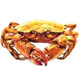 Cangrejo, crustáceos, mariscos frescos, cangrejo de dungeness cocinado, cangrejo serrado del fango, aislado, ejemplo de la acuare ilustración del vector