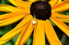 Cangrejo de araña Foto de archivo libre de regalías