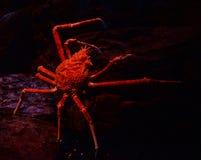 Cangrejo de araña Imágenes de archivo libres de regalías