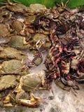 cangrejo de caballo y crustáceos del cangrejo de la salmuera Fotografía de archivo libre de regalías