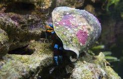 Cangrejo de ermitaño azul eléctrico Fotos de archivo libres de regalías