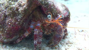 Cangrejo de ermitaño colorido que camina a lo largo de suelo marino almacen de metraje de vídeo