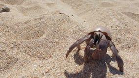 Cangrejo de ermitaño con la cáscara que se arrastra en la arena almacen de metraje de vídeo