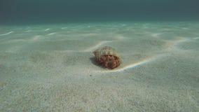 Cangrejo de ermitaño en el fondo del mar arenoso con un lenguado almacen de metraje de vídeo