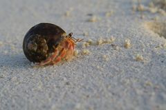 Cangrejo de ermitaño en la playa Imagenes de archivo