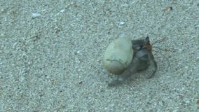 Cangrejo de ermitaño en la playa arenosa almacen de metraje de vídeo