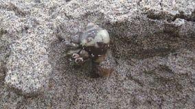Cangrejo de ermitaño en la playa que se arrastra en la arena almacen de video