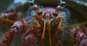 Cangrejo de ermitaño grande en la macro del agua almacen de video