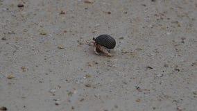 Cangrejo de ermitaño que camina en la playa arenosa hermosa almacen de video