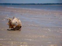 Cangrejo de ermitaño que se arrastra en Carolina Seascape Imagen de archivo libre de regalías