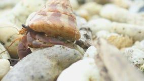 Cangrejo de ermitaño que se arrastra en la playa metrajes