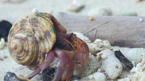 Cangrejo de ermitaño que se arrastra en la playa almacen de video