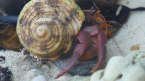 Cangrejo de ermitaño que se arrastra en la playa almacen de metraje de vídeo