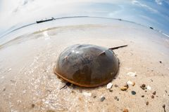 Cangrejo de herradura atlántico en el borde del ` s del océano foto de archivo