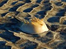 Cangrejo de herradura en la arena Fotos de archivo libres de regalías