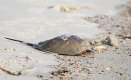 Cangrejo de herradura muerto en la playa de Hilton Head Island imagen de archivo