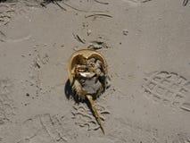 Cangrejo de herradura Shell Fotos de archivo