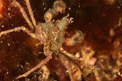 Cangrejo de la anémona - bahía de Brest, Britanny, Francia Imagen de archivo libre de regalías