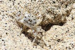 Cangrejo de la arena Imagen de archivo libre de regalías