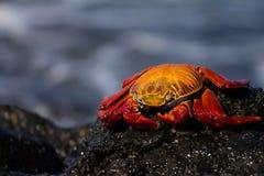 Cangrejo de la lava Fotografía de archivo