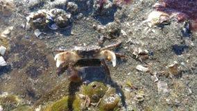 Cangrejo de la playa de Seattle Foto de archivo libre de regalías