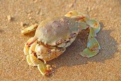 Cangrejo de natación en la arena El Océano Índico Fotos de archivo