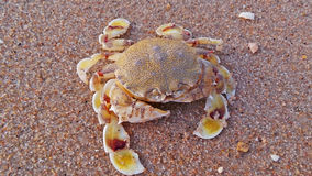 Cangrejo de natación manchado amarillo Foto de archivo libre de regalías