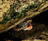 Cangrejo de orilla alineado Fotos de archivo