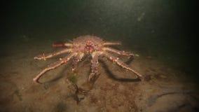 Cangrejo de rey gigante subacuático en el mar de Barents del fondo del mar en Rusia almacen de video