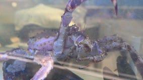 cangrejo de rey vivo 4K en el tanque de agua en la marisquería almacen de video