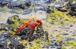 Cangrejo de Sally Lightfoot en las Islas Galápagos Imagenes de archivo