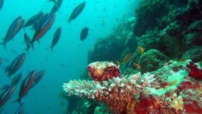 Cangrejo de soldado del cáncer del ermitaño en el fondo de los corales subacuáticos en Maldivas metrajes