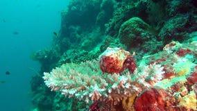 Cangrejo de soldado del cáncer del ermitaño en el fondo de los corales subacuáticos en Maldivas almacen de metraje de vídeo