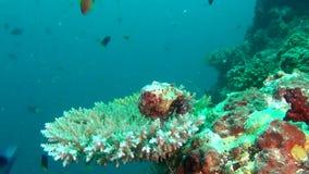 Cangrejo de soldado del cáncer del ermitaño en el fondo de los corales subacuáticos en Maldivas almacen de video