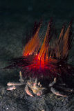 Cangrejo del decorador subacuático con el pilluelo del fuego del Mar Rojo fotos de archivo libres de regalías