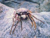 Cangrejo del mar Fotos de archivo