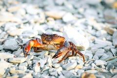 Cangrejo del mar en la orilla rocosa del mar Imágenes de archivo libres de regalías