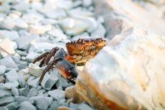 Cangrejo del mar en la orilla rocosa del mar Fotos de archivo