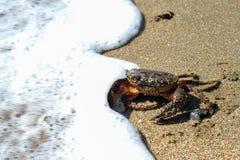 Cangrejo del Mar Negro que entra en el agua Fotografía de archivo