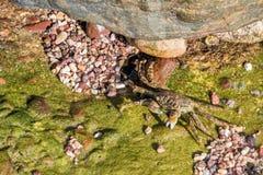 Cangrejo del mar verde Fotografía de archivo libre de regalías