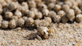 Cangrejo del pelele de la arena, primer almacen de video
