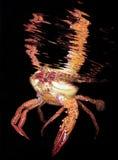 Cangrejo en la noche Foto de archivo libre de regalías